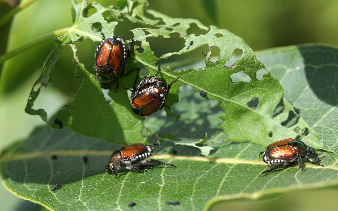 Japanese Beetles Treatments: Apply Now