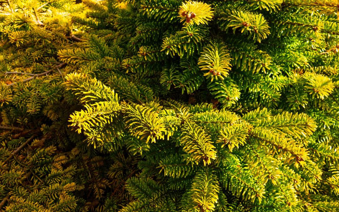 Evergreen Needle Drop
